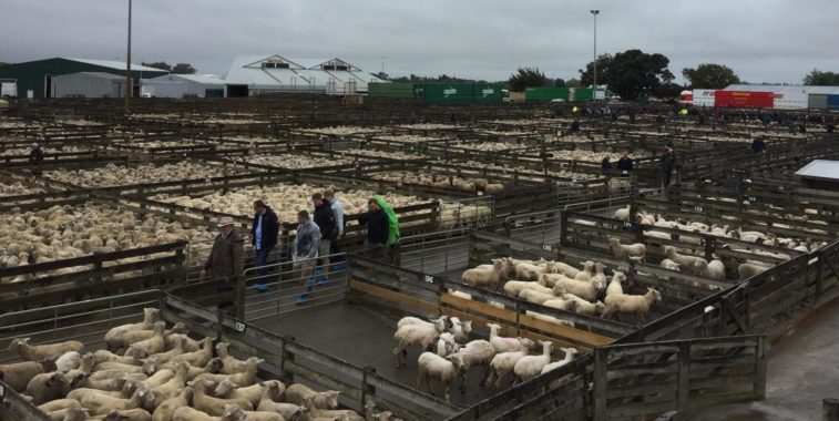 MBA-Fachexkursion 2019 nach Neuseeland; Tierauktion