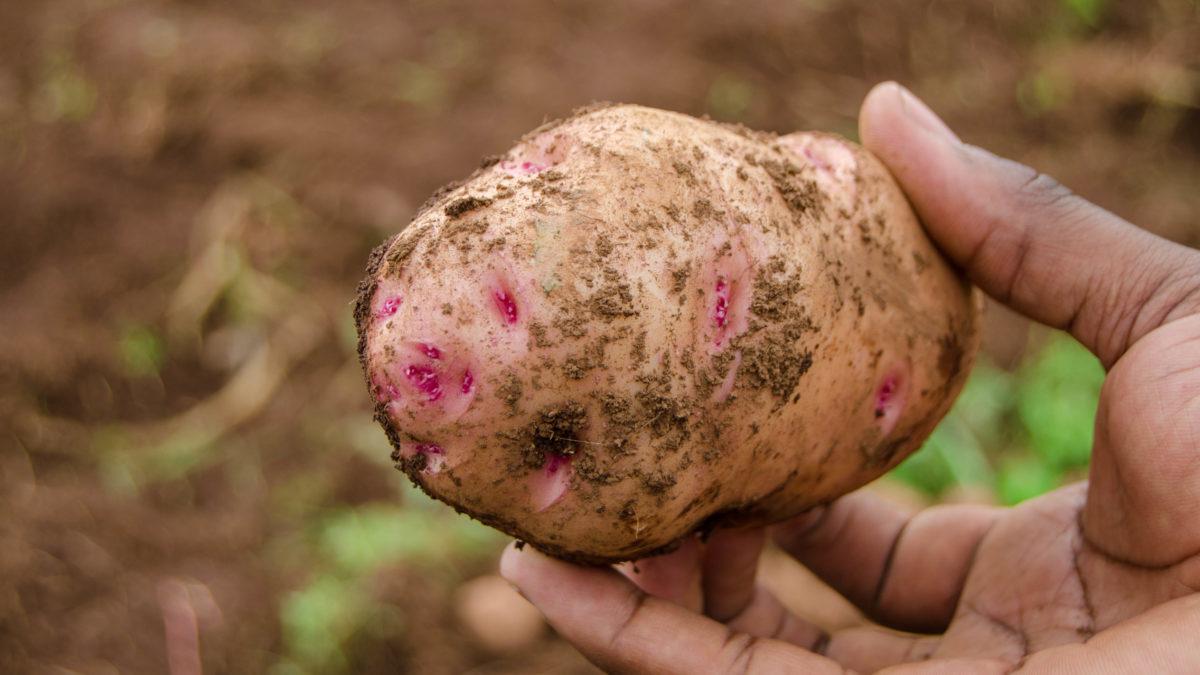 Traditionelle Kartoffelernte