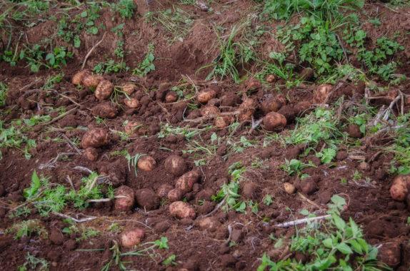Unversehrte Kartoffeln bei Einsatz voll-mechanisierter Erntetechnik